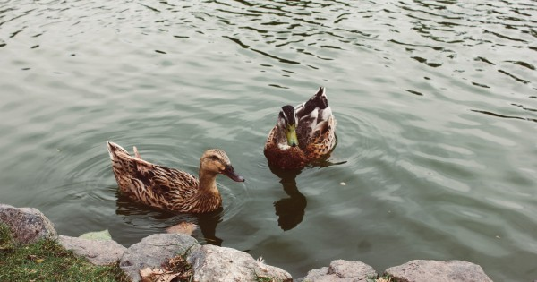 two ducks on a lake